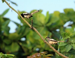 a pair of Asian pied myna (gracupica contra) on a bare branch with green trees and a clear blue sky