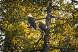 A pair of Bald Eagles, male and female mates, sit perched on a branch elevated high above the water of Lake Ponderay, Idaho, surveying the area in search of food or threats