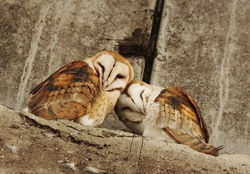 a pair of barn owl