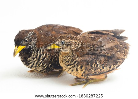 A pair of barred buttonquail or common bustard-quail (Turnix suscitator) isolated on white background  Photo stock ©