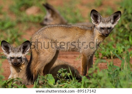 A pair of bat-eared foxes in beautiful light