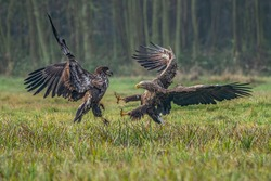 A pair of battling White tailed eagles (Haliaeetus albicilla) appear to be performing karate mid-air. Poland, europe. Fighting eagles. National Bird Poland.