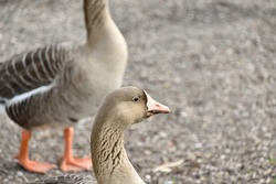 A pair of beautiful Canadian geese on the riverbank with a closeup of the head of one of them