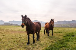 A pair of beautiful domestic horses ride freely through the field with the mountains in the background. animals and pets concept