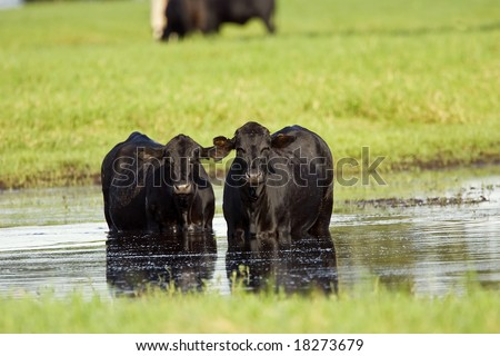 A pair of Black Angus cows standing in a pool of water