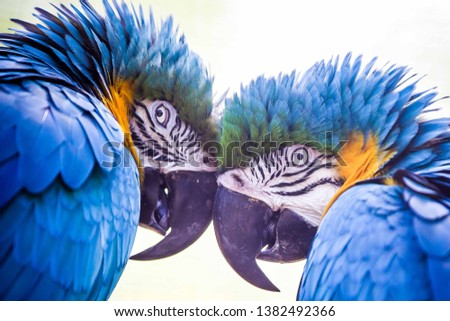 A pair of blue parrots with beak to beak enchanting look
