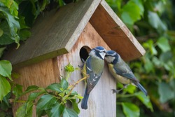 A pair of Blue Tits at their nest