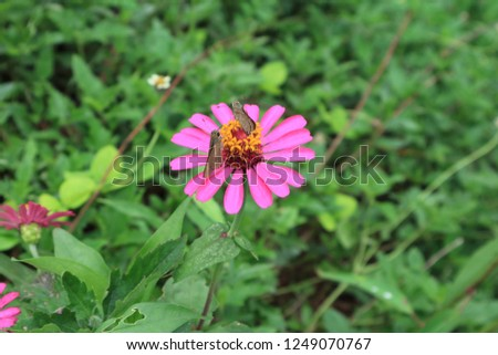 A pair of brown butterflies collecting nectar on a vibrant pink blooming wild Zinnia flower #1249070767