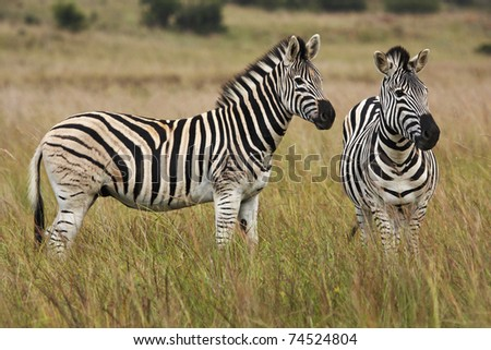 A pair of Burchell's Zebras standing on alert in grassland