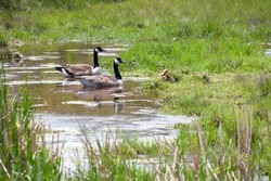A pair of Canada Geese (Branta canadensis) with their young gosling in salt marsh wetlands at Assateague Island National Seashore, Maryland