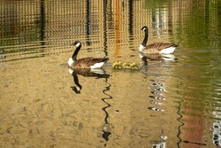 A pair of Canada Geese swimming with their goslings on the river Lee in Hackney, London