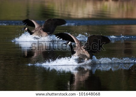 A pair of Canadian geese landing on water.