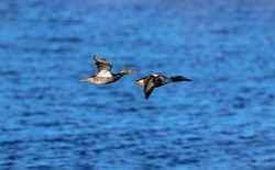 A pair of carefree Northern Shoveler ducks flying over a deep blue body of water.