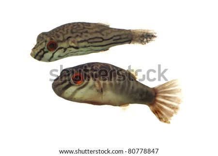 A Pair of Carinotetraodon salivator also known as Zebra Puffers