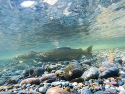A Pair Of Chinook Salmon Underwater