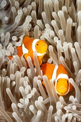A pair of clown anemonefish, Amphiprion percula, swimming among the tentacles of their sea anemone, Uepi, Solomon Islands