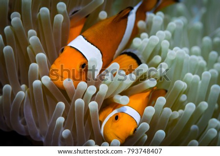 A pair of Clownfish in sea anemone from the indo pacific region . Komodo National Park, Indonesia #793748407