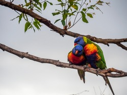 A pair of colorful rainbow lorikeets on a tree branch, one grooming another. This is a species of birds that is native to Australia. Seen mainly in rainforest, coastal bushland and woodland habitats.