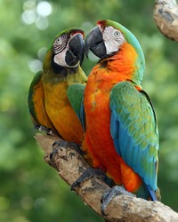 A pair of colourful Military macaws touch beaks