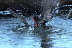 A pair of Common Moorhens (Gallinula chloropus) fighting in a lake.