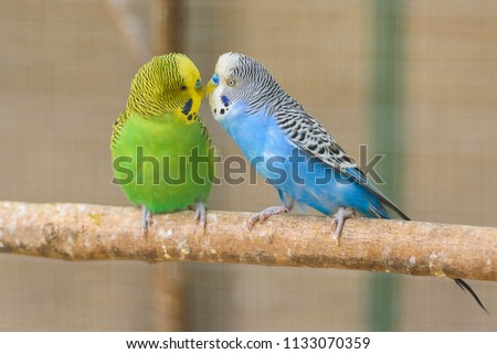 Stock Photo A pair of common parakeets is kissing on a branch