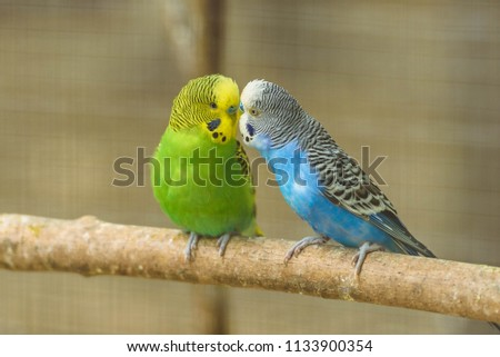 Stock Photo A pair of common parakeets is kissing on a branch in a zoo