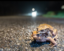 A pair of common toads are at risk of being hit by a car on the road