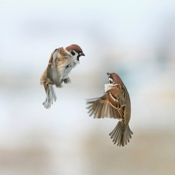 a pair of cute little Sparrow birds fly in the winter sky next and argue