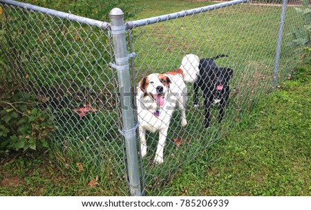 A pair of dogs, one black and one white and brown, are seen through a chainlink fence.