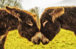 A pair of donkeys looks into their eyes