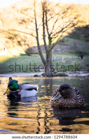 A pair of ducks on the water, river, lake on a frosty January morning in the Peak District National Park in Derbyshire by the Dovedale stepping stones, A mallard and drake duck