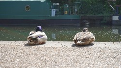 A pair of ducks sitting at the city canal, duck at the river side on a sunny quiet day during city lockdown due to coronavirus.
