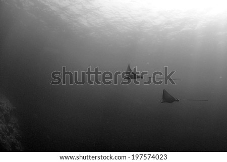 A pair of Eaglerays glide in the open ocean, Grand Cayman, Cayman Islands