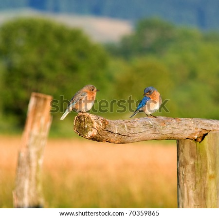 A pair of Eastern Bluebirds