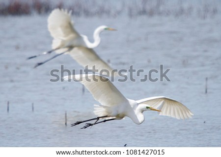 A pair of egrets flying over the water in Horicon Marsh, Wisconsin.