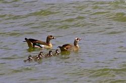 A pair of Egyptian Geese take their brood of newly hatched goslings for their first swim. The precocial youngsters follow their parents and emulate their actions soon after leaving the egg