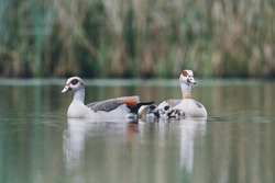 A pair of Egyptian Geese with small chicks swimming in the water, Alopochen aegyptiaca, Dutch city park wildlife, water birds