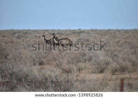 A pair of emus walking across a dry plain stretching away into the horizon.