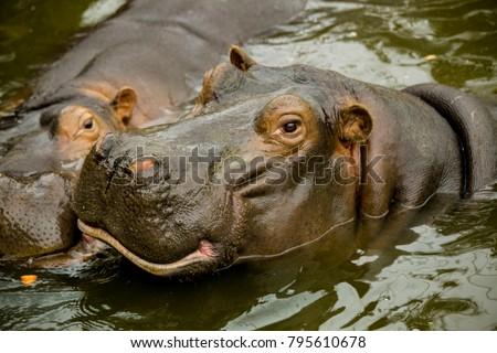 A pair of ferocious African hippos.