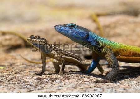 A pair of flat lizards, a male and female, in Matobo National Park, Zimbabwe