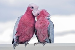 A pair of Galahs  ~ A  pink and grey coloured cockatoo found in most areas of Australia. They are a highly intelligent, social and adaptable parrot.