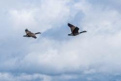 A pair of geese flying upwards flapping their wings for speed through the overcast sky in wintertime