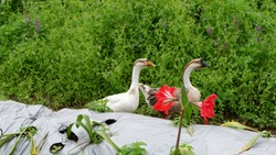 a pair of geese playing in the garden