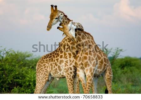 A pair of giraffe entwining their necks