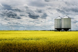 A pair of grain silos sit empty on a blooming bright yellow canola field under a stormy sky on the Alberta prairies.