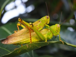 a pair of grasshoppers with blurry foreground and blurry background, noise and grain film