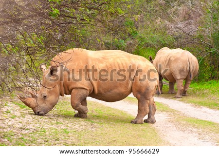 A pair of grazing white rhinoceroses in woodland