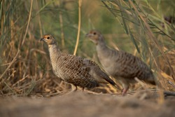 A pair of Grey francolins at Khamis, Bahrain. Selective focus on the back