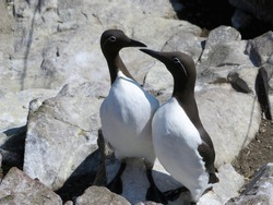 A pair of Guillemots perform a courtship dance to reaffirm their pair bonds. This pair is of the rarer bridled subspecies not often found.