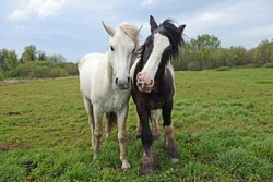 A pair of horses in a summer meadow.
